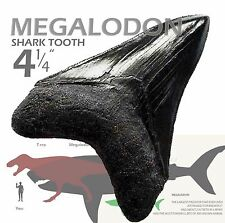 "Incredible MEGALODON Shark tooth 4""+ * Awesome serrations * Replica fossil teeth"