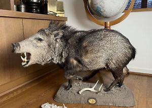 Vintage Javelina Tayassu Tajacu Taxidermy Full Mount Peccary Wild Boar