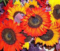 SUNFLOWER AUTUMN BEAUTY Helianthus Annuus - 100 Bulk Seeds