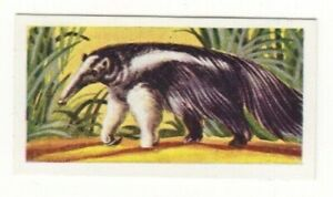 Animal Trade Card 1954. Ant Eater