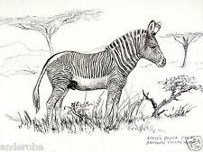 "1973 African Zebra B/W Framable Art Print by Ray Harm 11""x15"" L@K"