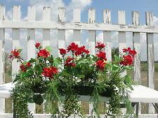 Christmas Gifts Exterior Window Box Red Geraniums Fern Arrangement Flower Garden