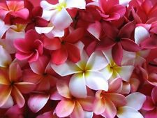 10 Frangipani MIXED PLUMERIA Rubra Lei Flower Seeds + Free Gift & Comb S/H