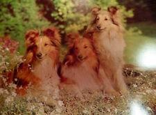 Vintage Rough Collie Shetland Sheepdog Sheltie Post Card England J. Salmon Ltd.