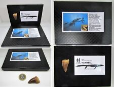 Large fossil mosasaur tooth in gift display box for dinosaur & nature fans