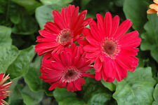DAISY - GERBERA - RED - 1 Live PLANT - GroCo GUARANTEED Plants USA