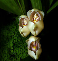 50pcs Swaddled Babies (Anguloa Uniflora) Flower Seeds Plant Seed