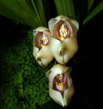 100pcs Swaddled Babies (Anguloa Uniflora) Flower Seeds Plant Seed