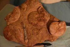 3 ammonites Leioceras opalinum et comptum, aalénien