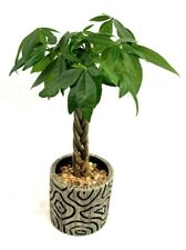 Money Tree - Indoor House Plant in a Gray Cylinder Handmade Mosaic Planter