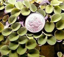 Salvinia Cucullata 1/4 Cup Floating Fern Asian Watermoss Aquarium Plant Buy2Get1