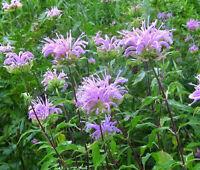 BERGAMOT WILD BEE BALM Monarda Fistulosa - 50,000 Bulk Seeds