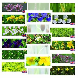 Bargain Pond Marginal Plants Water bog aquatic Plant sale 2021 oxygen water lily