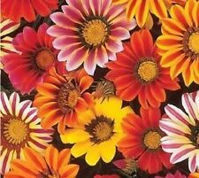 200 Gazania Seeds Sunshine Hybrids Mix Flower Seeds BULK SEEDS
