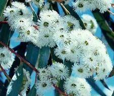 Blüten wie Schneebälle: wunderbarer Schnee-Eukalyptus