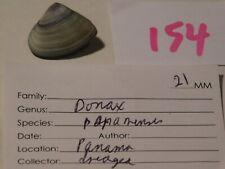 Donax panamensis Panama data 21mm #154