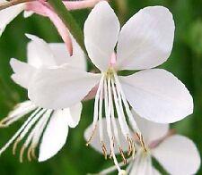 40 Graines non traitées de fleurs GAURA LINDHEIMERI - Fleur BLANCHE