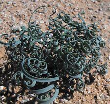 Gethyllis linearis 10 SEEDS