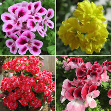 50Pcs Mixed Geranium Seeds Pelargonium Balcony Garden Flower Plant Gift Pleasing