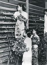 INDONÉSIE c.1950 - Séchage du Thé Jeunes Filles - Div 7719