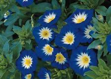 Morning Glory Seeds Ensign Royal, Heirloom Flower, Climbing Vine, Non-Gmo 75 Ct