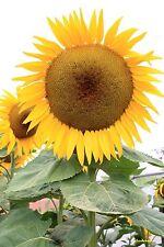 15 Graines Helianthus annuus Giant sunflower Sunflower Mammoth Grey Stripe seeds