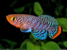 100 EGGS NOTHOBRANCHIUS RACHOVII BEIRA 89 KILLIFISH KILLI HATCHING TROPICAL FISH