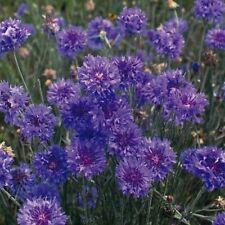 Cornflower Crown double Blue - Appx 200 seeds Annuals & Biennials