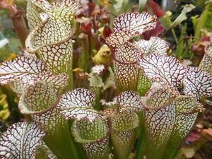 Tarnok Leucophylla carnivorous sarracenia plant