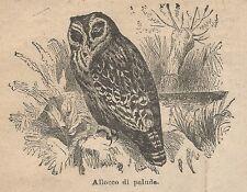 A1013 Allocco di palude - Stampa Antica del 1911 - Xilografia