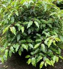 Prunus LAUROCERASUS Caucasici Alloro Ciliegio 40-60cm
