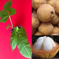 Santol Sandoricum Koetjape Yellow Mangosteen Cottonfruit Tropical Tree Plant