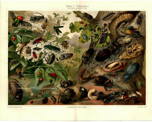 2 Lithografien: Bug Original 1904 Lithograph Beetles Print Picture Stag Beetle