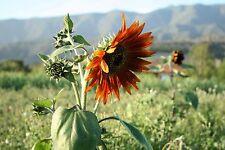 New listing Certified Organic Mano de Otoño Autumn Sunflower Seeds Mix (~35): Non-Gmo