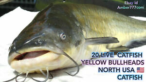 20 LIVE EUROPEAN YELLOW BULLHEADS, BULLHEAD CATFISH SHIPPING FROM 2021-05-01