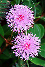 Mimosa pudica, Sensitive plant sleepy bush rare bonsai powder puff seed 50 seeds