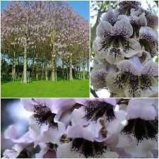 100 semi di Paulownia catalpifolia, paulonia catalpifolia