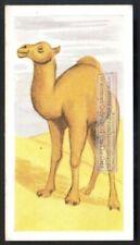 Dromedary Camel  60+ Y/O Ad Trade Card