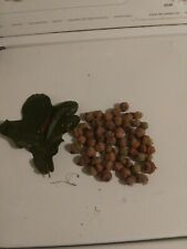 White Oak Acorns Tree Seeds