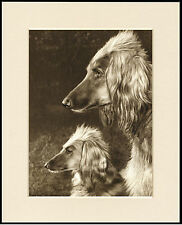 AFGHAN HOUND OLD STYLE DOGS HEAD STUDY DOG PRINT MOUNTED READY TO FRAME