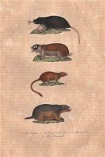 Mammals. Taupe du Cap (Cape Mole Rat); Muscadier; Marmotte (Marmot). Buffon 1837