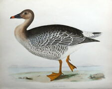 BEAN GOOSE, Beverley Morris original antique bird print 1855