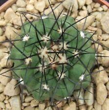 Copiapoa Montana choice flowering size 3.6cm collectors Chilean cactus