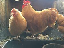 14+ Bantam Buff Orpington Hatching Eggs, Show Stock