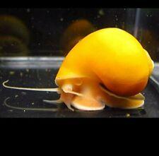 "Golden Mystery Snails (Pomacea bridgesii) 1/2""-3/4"""