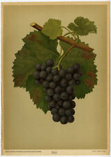 Antique Print-SPATBURGUNDER-BURGUNDY-GRAPE-222-Bissmann-ca. 1920