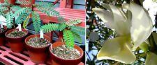 Der Star im Blumenstrauss : Weisser Kolibribaum Sesbania Grandiflora / Samen