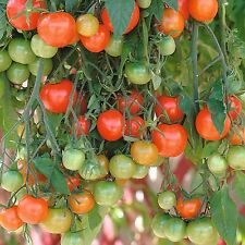 * Tomato - Tumbling Tom Red Hybrid Vegetable Garden Seeds 10ct