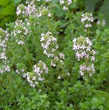 TIMO COMUNE 600 SEMI Thymus Vulgaris Thyme Common spezia pianta erba aromatica