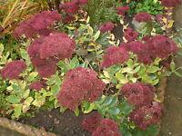2 ORGANIC NORFOLK SEDUM,DARK RED ROOT SYSTEMS,LATE SUMMER COTTAGE GARDEN PLANT.